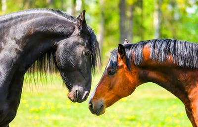 two=horses-companion-animals