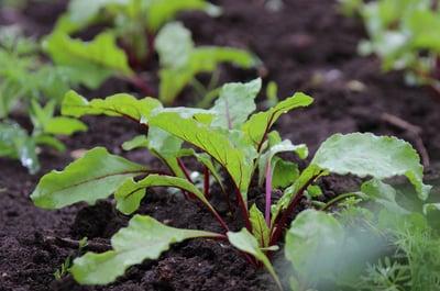 compost-garden-beet-plants